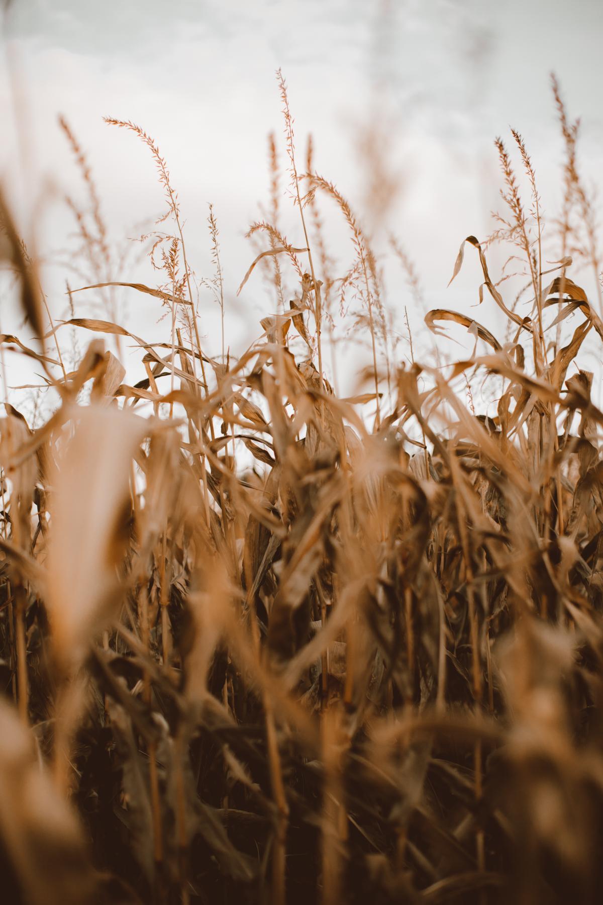cornfield-32