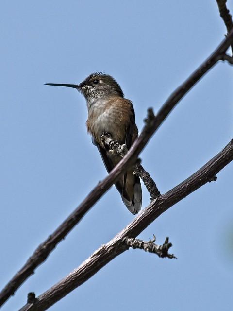 broad-tail hummingbird