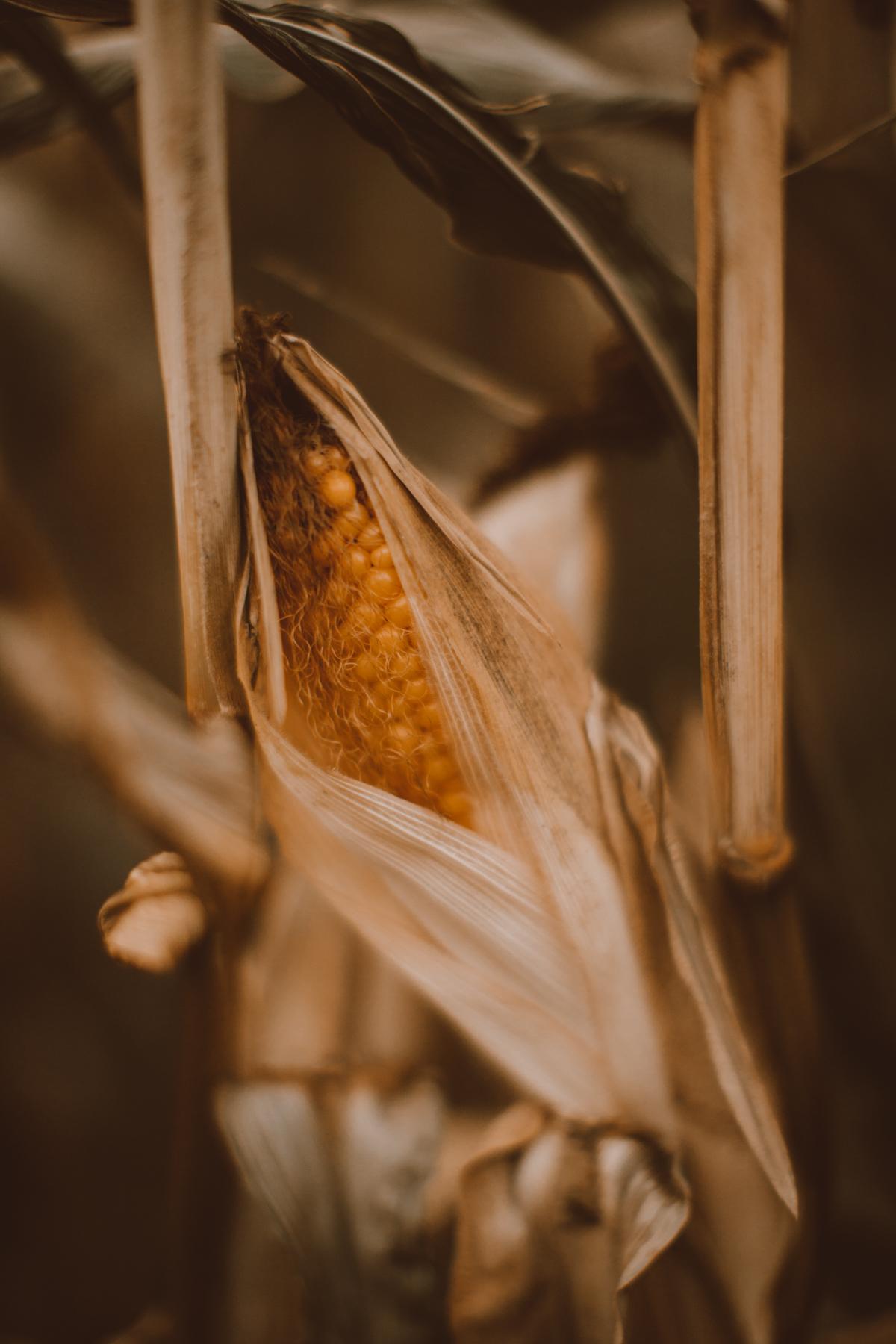 cornfield-37
