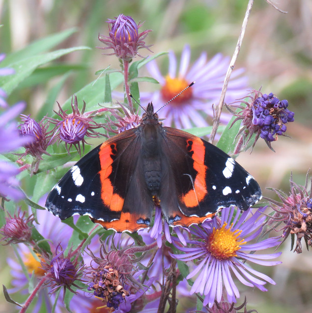 red admiral on New England aster