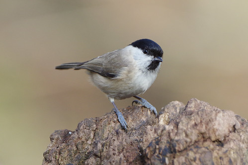 lackfordlakes poecilepalustris suffolk bird marshtit nature wild wildlife woodland