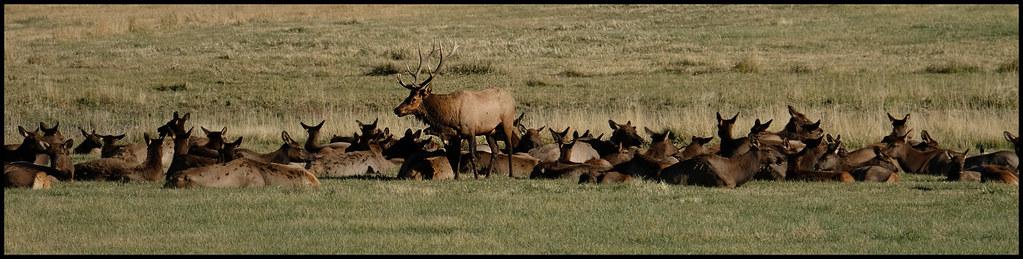 9-30-20 - Elk herd in a farmer's field