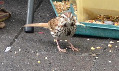 Carleton Place - Midge the sparrow