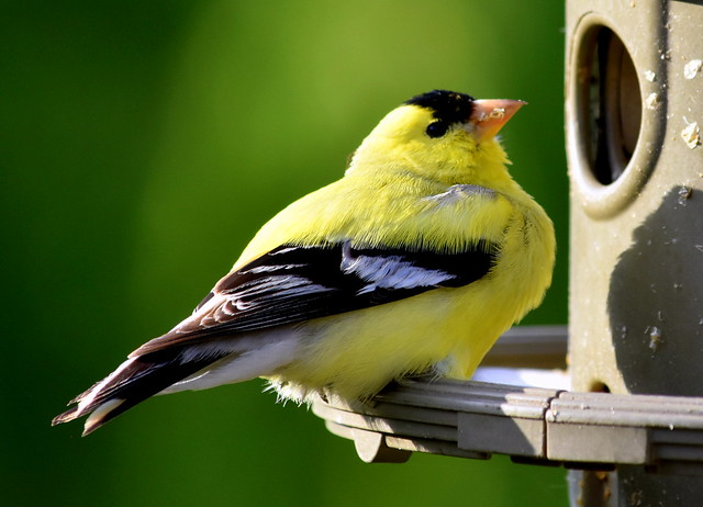 GOLD FINCH AT MY FEEDER.   ABBOTSFORD,  BC.