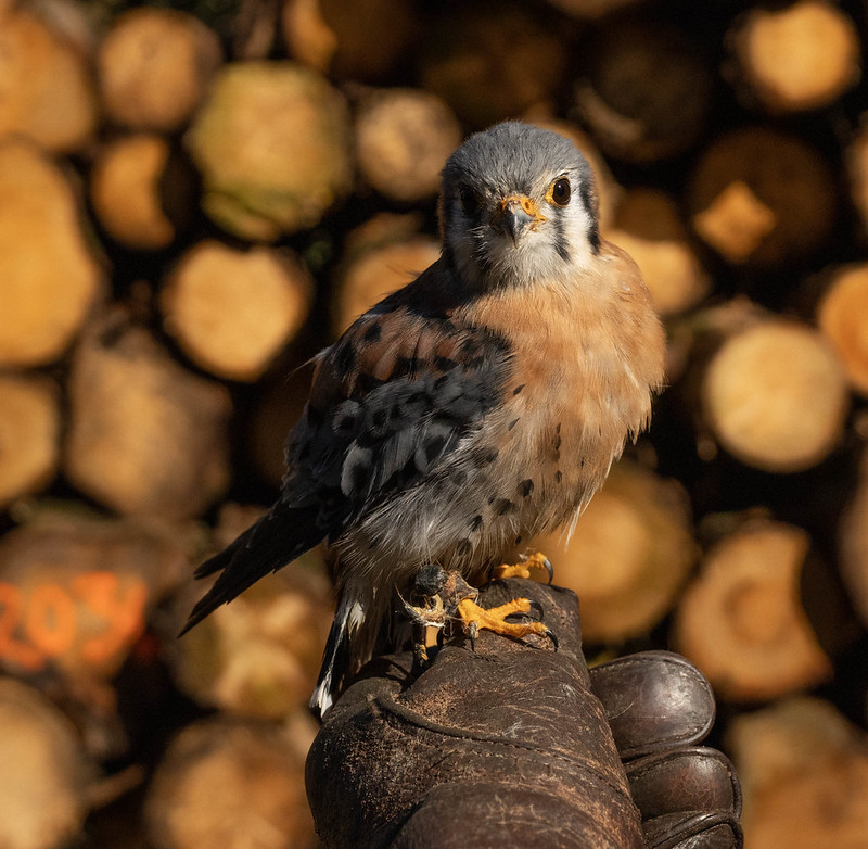 Chip, the American Kestrel