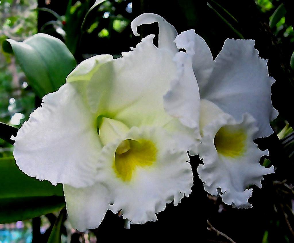 C. Francis T.C. Au 'Floralia' (Bow Bells x Swan) (2)