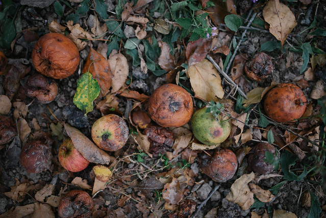 Rotten apples on the ground from above.