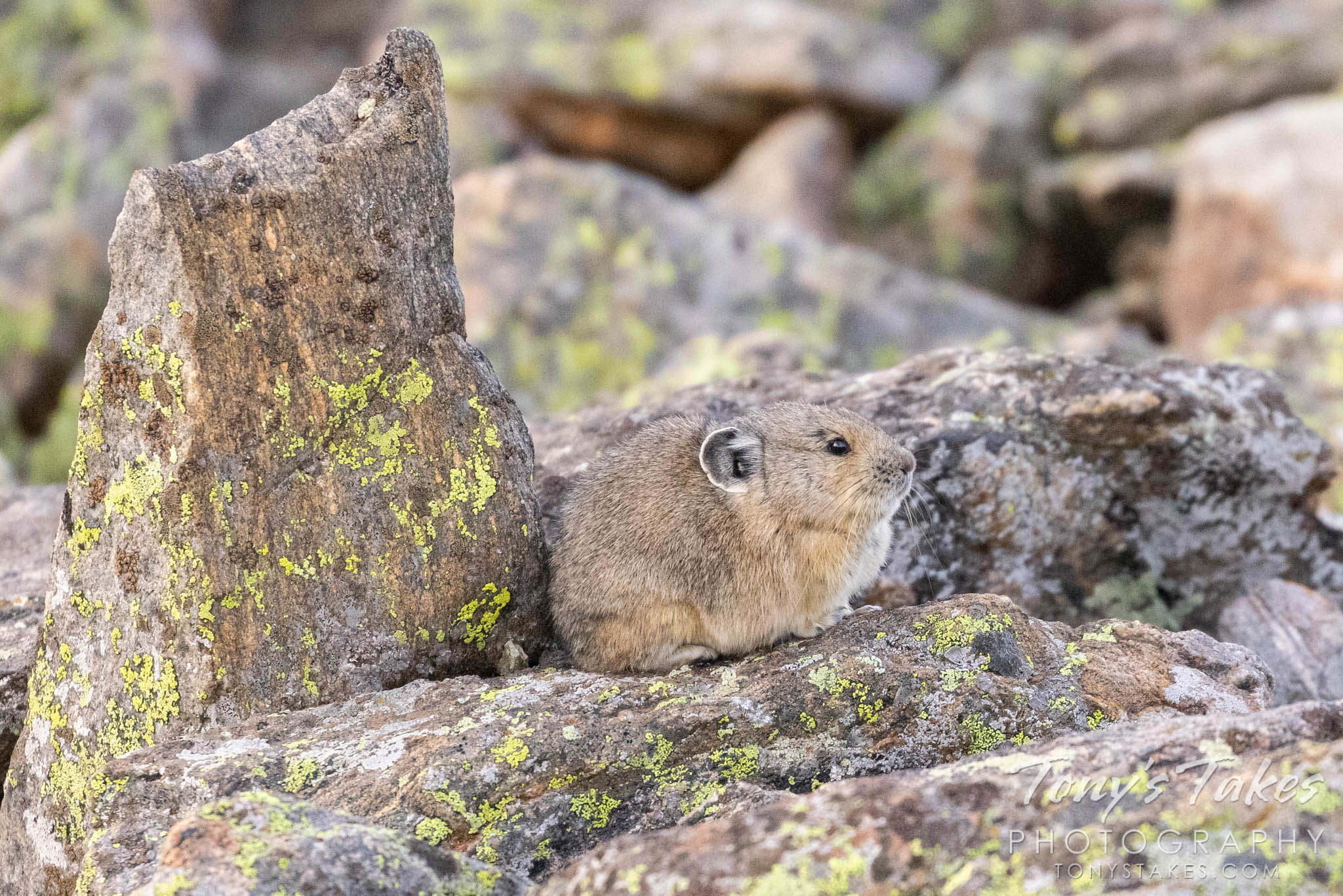 American pika hunkers down against the approaching cold