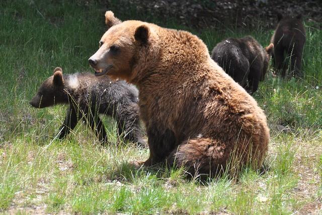 Ursus arctos - Ours brun - Brown bear - 20/06/20