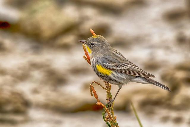 Audubon's Warbler © (explore)