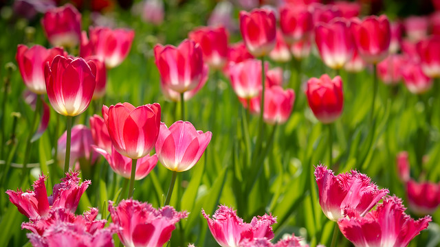 Tulip | 鬱金香