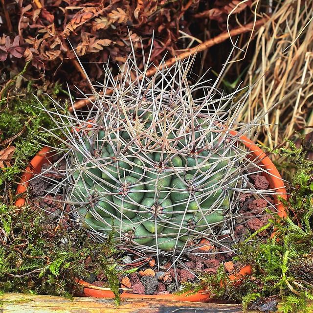Gymnocalycium gibbosum; Cactaceae (1)