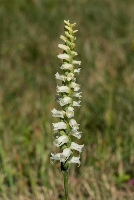 Yellow Ladies'-tresses orchids