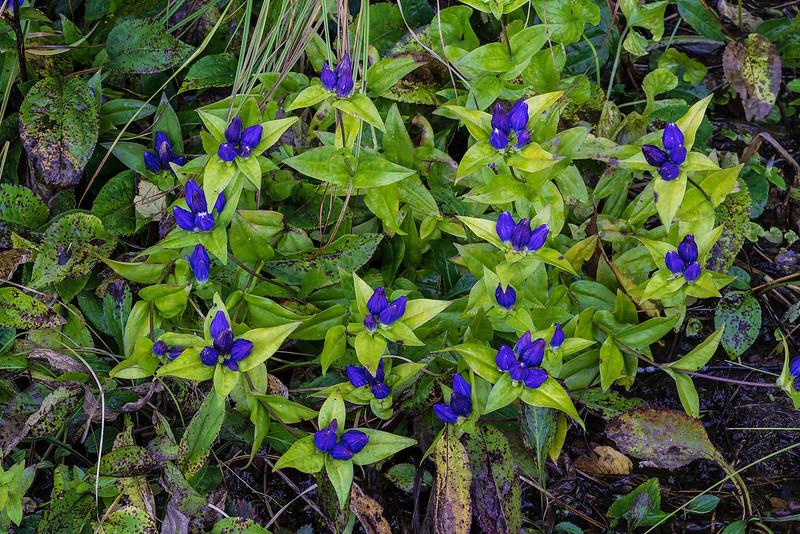 Balsam Mountain Gentian