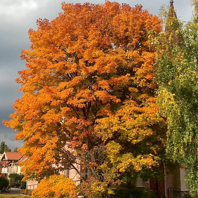 Autumn Maple🍁