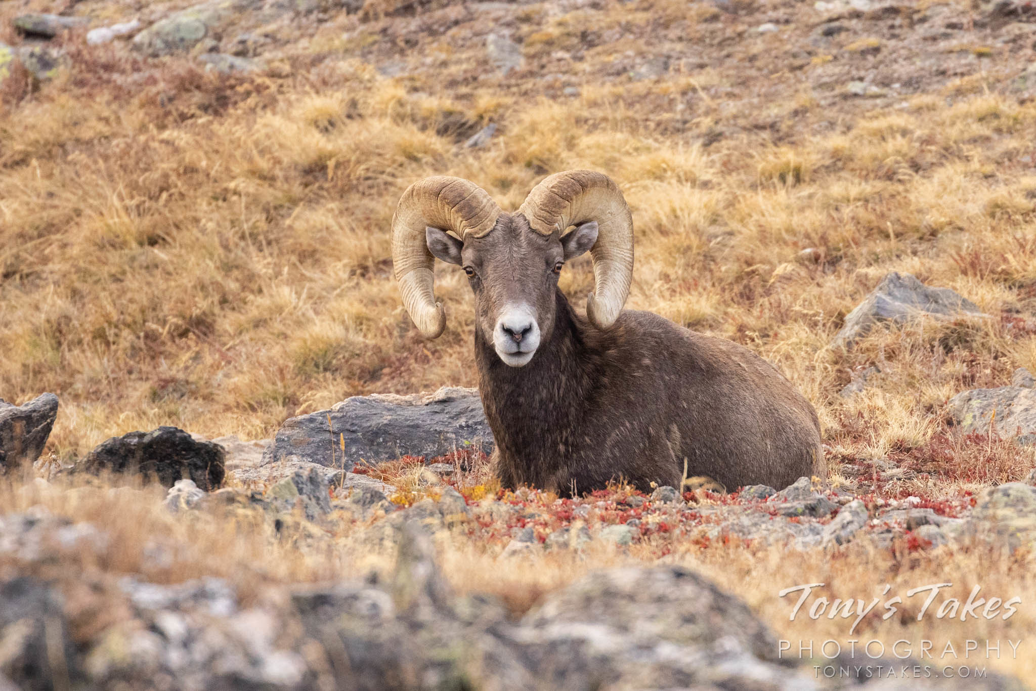 Bighorn sheep ram lounges on the alpine tundra