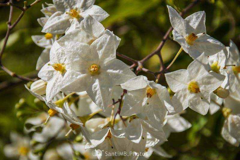 Flores de Solanum laxum o Solanum bonariense en los Pèlags de Vilobí