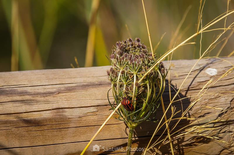 Chinche rayada sobre umbela de zanahoria silvestre en los Pèlags de Vilobí