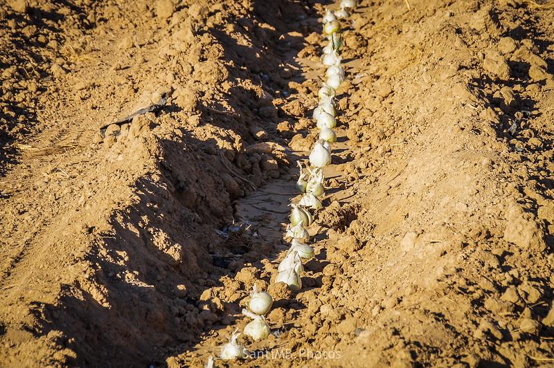 Calçots recien sembrados en Vilobí del Penedès