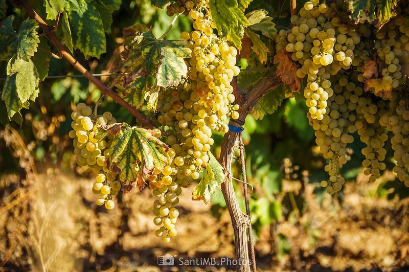 Racimos de uva en viñas de Vilobí del Penedès