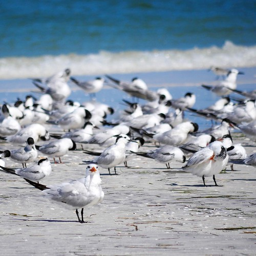 Individual, but not alone. . (royal terns and least terns on Honeymoon Island) #birdnerd #happierplace | by luciwest