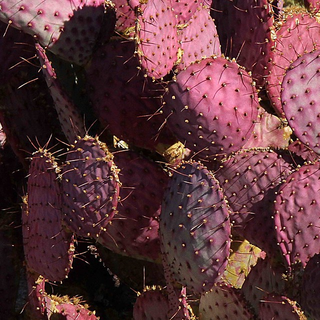 Prickley Pink