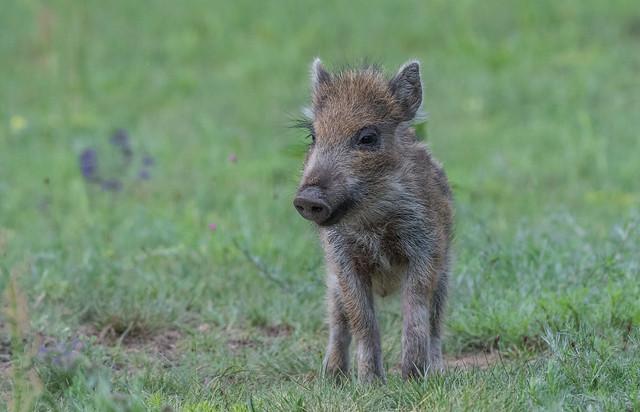 Wild boar piglets (Sus scrofa)