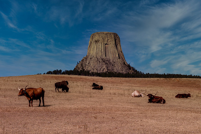Buffaloes and Longhorns Graze Oblivious to the Devil's Tower