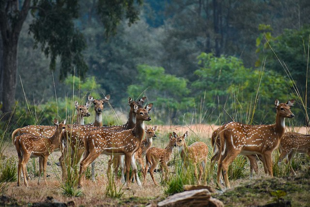A alert spotted deer herd watches carefully for a leopard that had just appeared out of the woods.