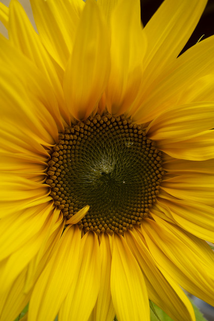 Newly blooming sunflower