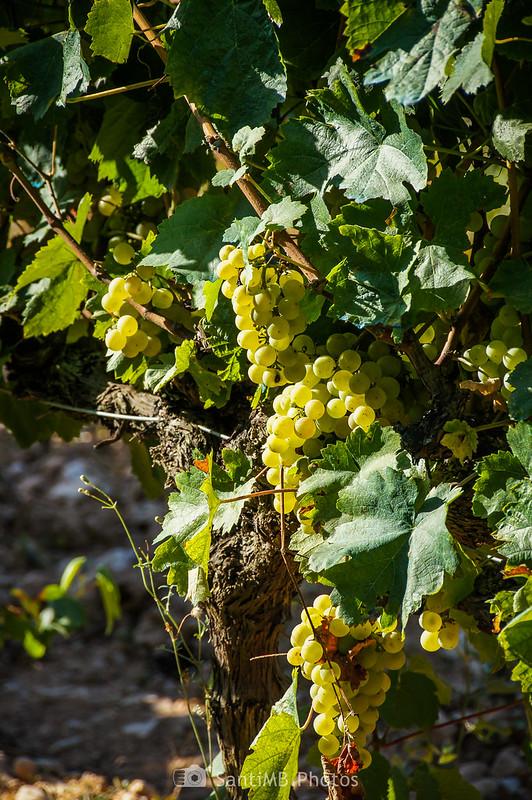 Uva en los viñedos de Les Graus