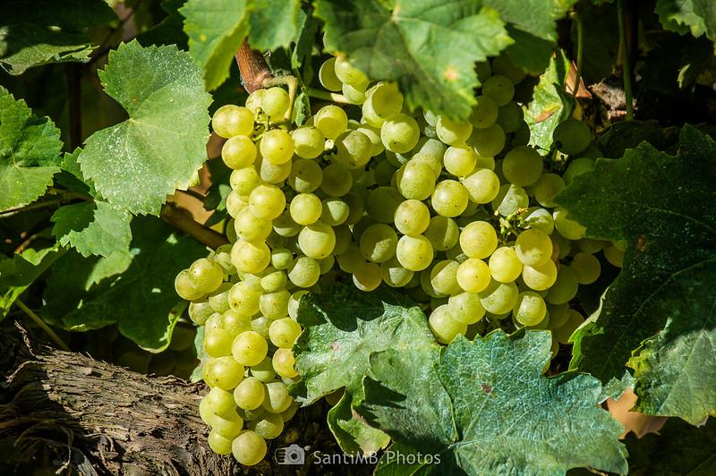Uva de los viñedos de Les Graus