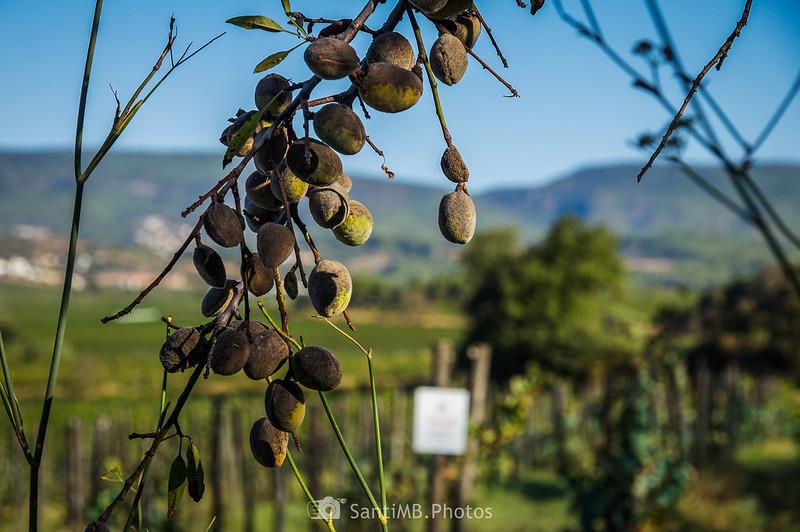 Almendro junto a los viñedos Can Suriol