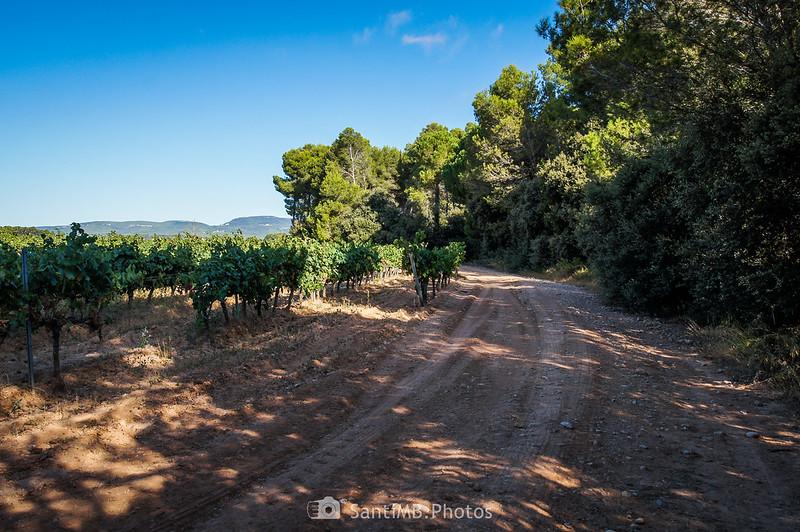 Camino entre viñedo y Bosc de Les Graus