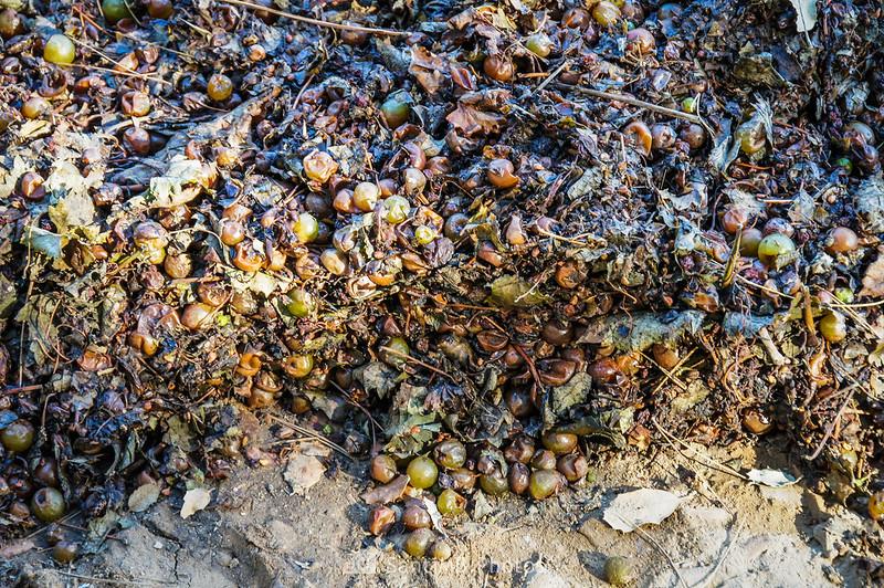 Uva caída de los remolques después de vendimiar