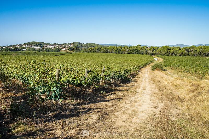 Hacia el Bosc de les Graus entre viñedos de Can Suriol