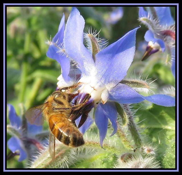 Honey Bee on Borage Flower