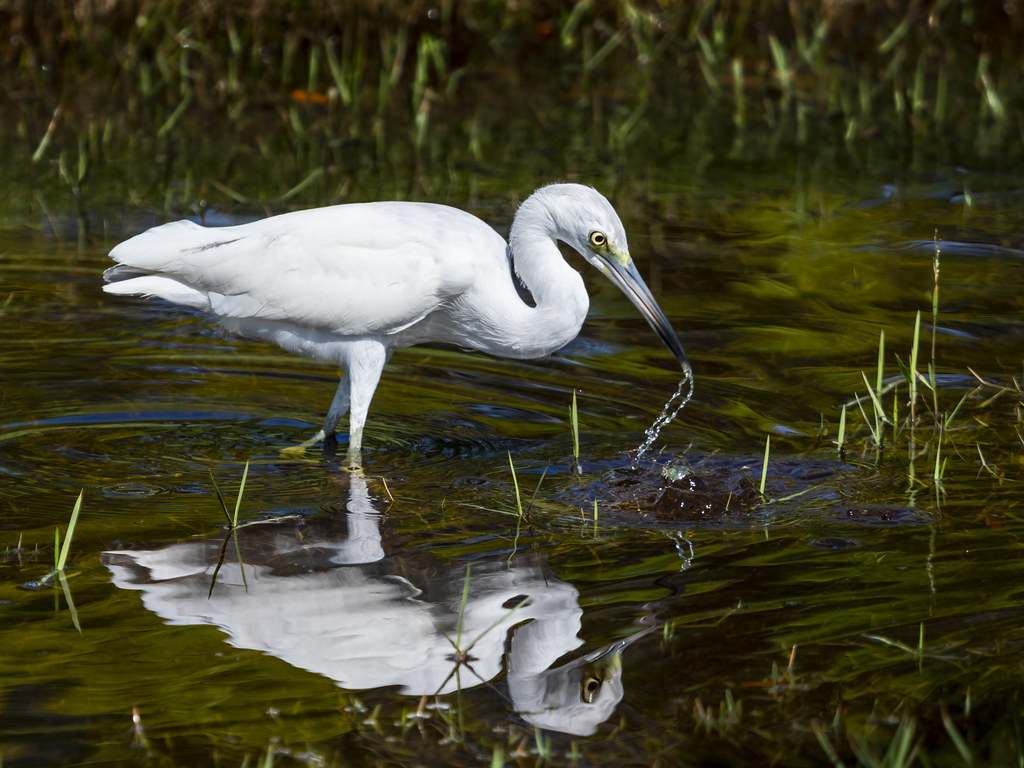 Little Blue Heron in White Phase