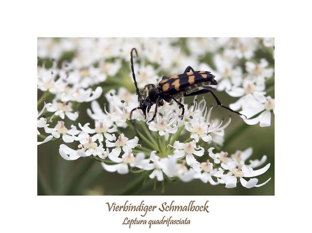 Leptura quadrifasciata - Vierbindiger Schmalbock