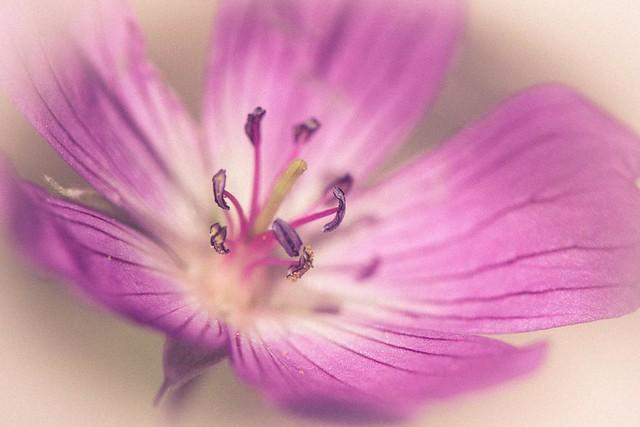 GeraniumSylvaticum