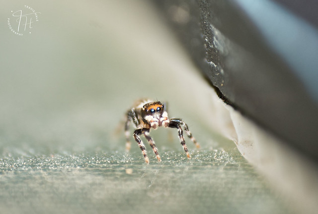 Jumping Spider with the Raynox DCR250