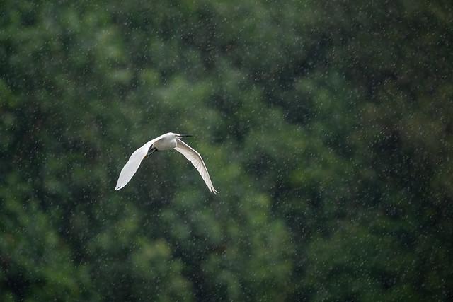 Little Egret in the rain [explore]
