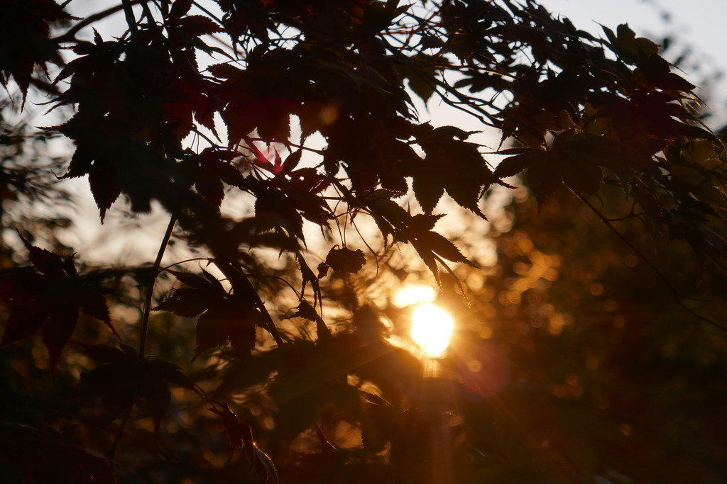A forget-about-the-world sunset thru Japanese Maple.