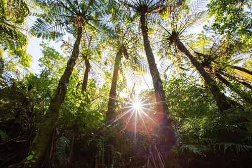 newzealand wellington zealandia ecosanctuary treefern mamaku cyathea medullaris spring sun starburst hanks