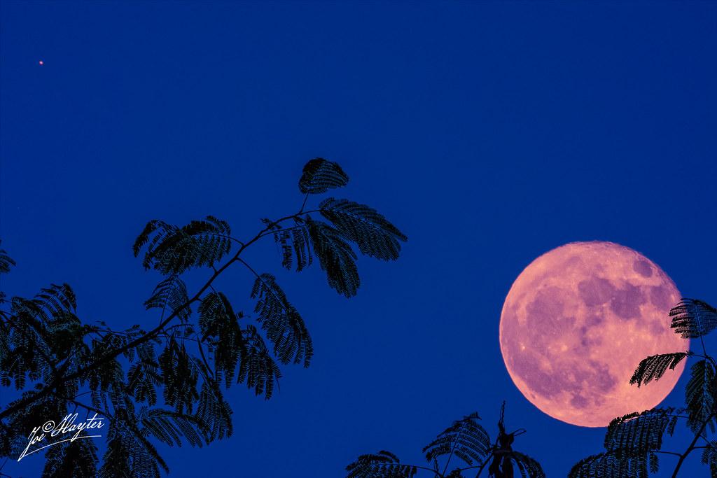 Moon And Mars Rising Over Mimosa Tree