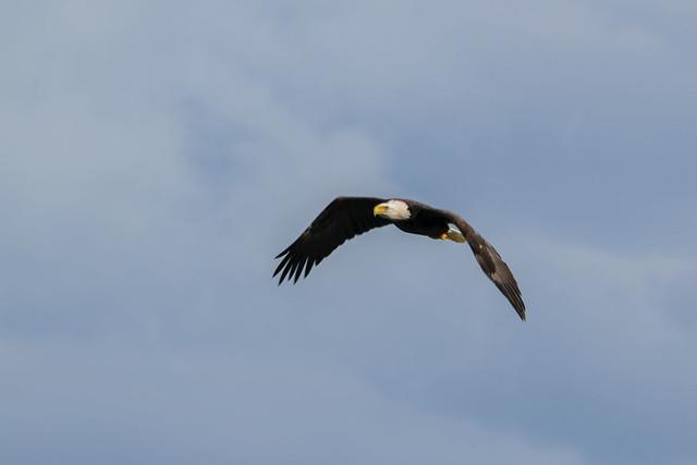 Bald Eagle - 4283