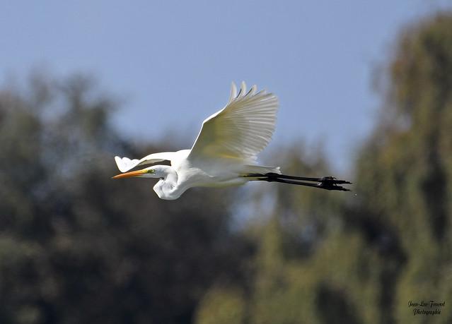 Grande Aigrette ( Ardea alba - Great Egret )