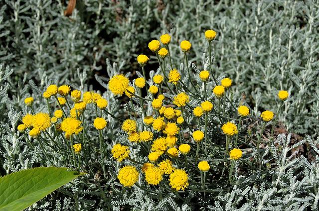 Compiègne (Oise) - Dans ma rue, fleurs de juin - Aurone femelle (Santolina Chamœcyparissus (Synanthéreae))