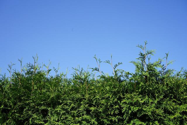 Grüne Thuja-Hecke, darüber strahlend blauer Sommerhimmel