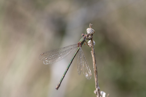 Leste Vert – Willow Emerald Damselfly – Chalcolestes viridis | by arnaud.badiane